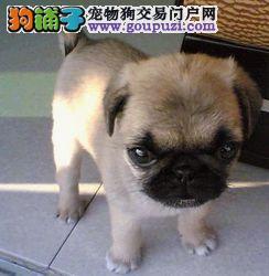 贵阳自家繁殖的纯种巴哥犬找主人喜欢来电咨询