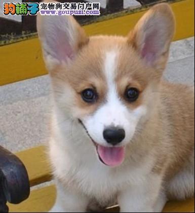 专业养殖基地出售赛级精品柯基幼犬 质保三年可上门选