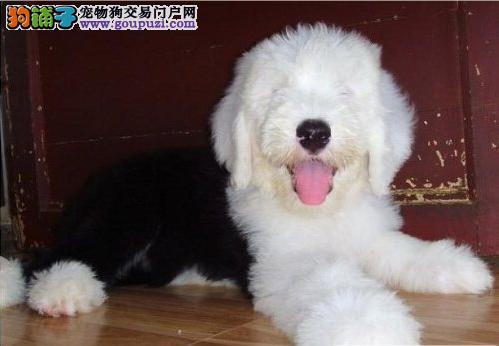 出售纯种全白头古代牧羊犬幼犬 驱虫疫苗已做 质保90天