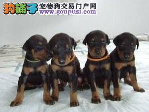 纯血统、品相好的杜宾狗狗出售