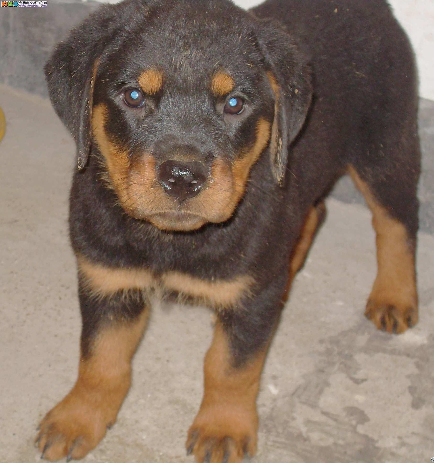 赛级品相罗威纳幼犬低价出售市内免费送货