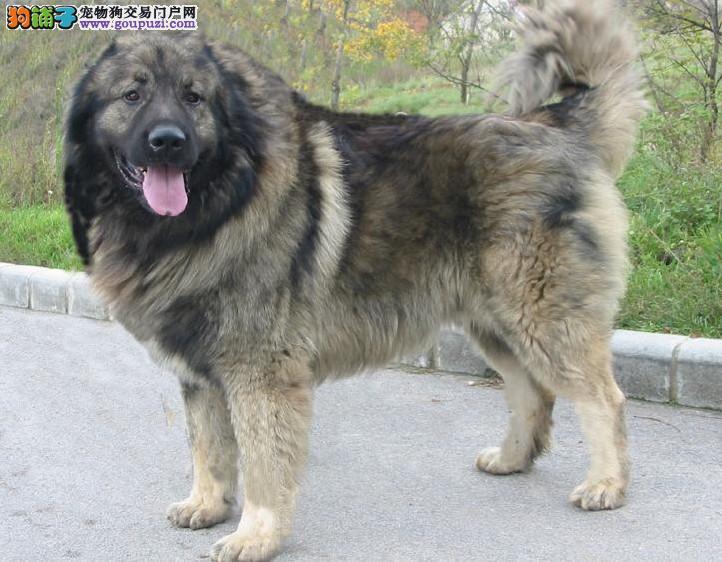 与高加索犬 高加索犬与藏獒 高加索犬与藏獒谁厉害