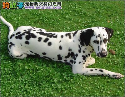 国际注册犬舍 出售极品赛级斑点狗幼犬请您放心选购