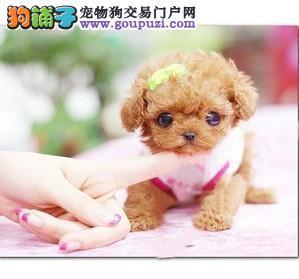 CKU犬舍认证重庆出售纯种茶杯犬可刷卡可视频