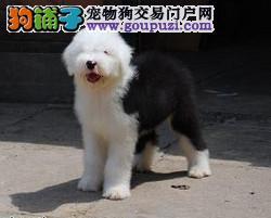 杭州古牧健康憨厚招人喜欢的英国古代牧羊犬宝宝