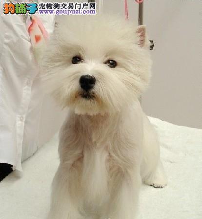 广东哪里有卖西高地犬 深圳买西高地犬
