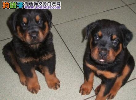 热销罗威纳幼犬 自家繁殖保养活 三年联保协议