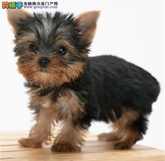 CKU犬舍认证出售高品质南昌约克夏终身售后送货
