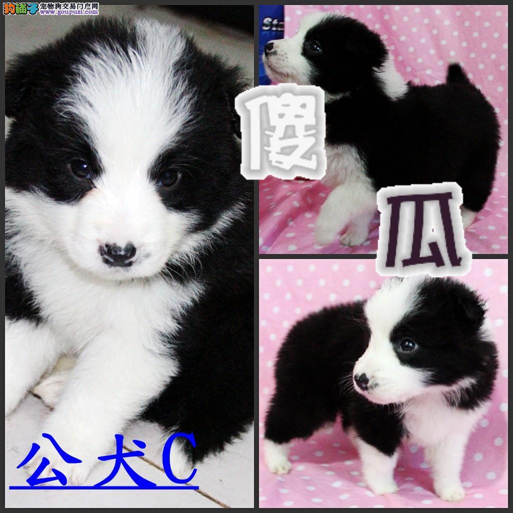 牡丹江/出售纯种边境牧羊犬幼犬[两个月公母全有]