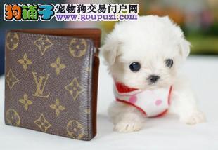 出售最小型犬茶杯袖珍.茶杯犬聪明可爱.深圳茶杯犬纯种