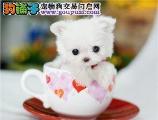 正宗茶杯体泰迪吉娃娃博美比熊幼犬繁殖出售