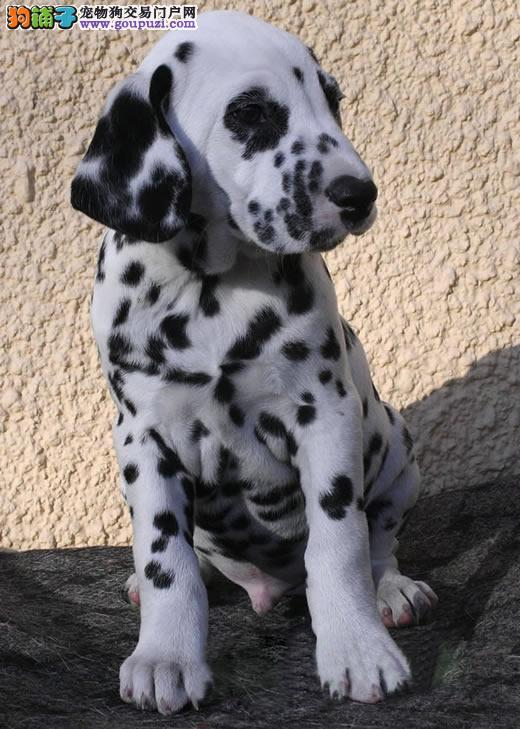 南京自家养殖纯种斑点狗低价出售期待您的来电咨询