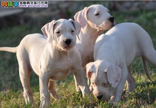 猎犬之王杜高幼犬待售~!打野猪最佳,斗狗也给力