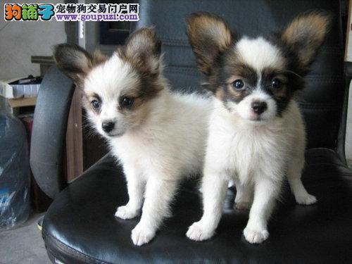 出售纯种蝴蝶幼犬黑白色和黄白色均有
