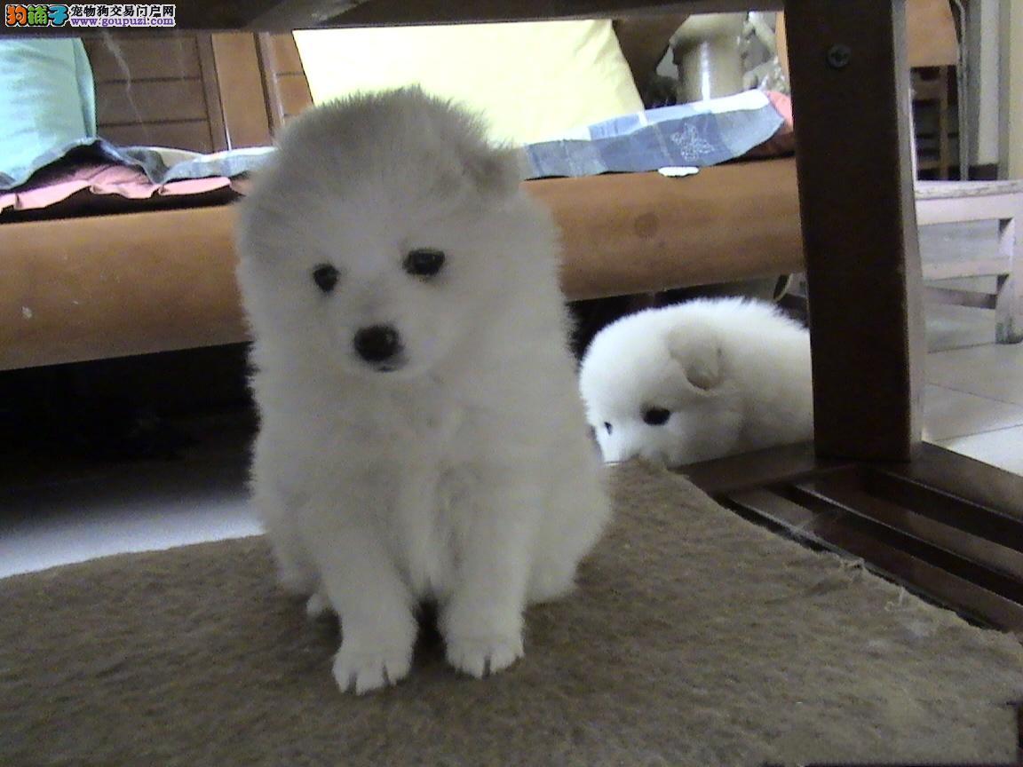 武汉哪里出售银狐犬 纯种银狐犬价格 武汉宠物狗出售