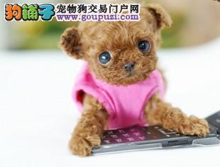 热销茶杯犬幼犬,精心繁育品质优良,购买保障售后