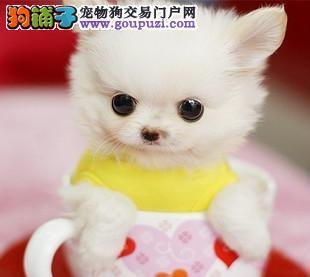 哈尔滨茶杯犬出售 哈尔滨出售迷你版幼犬 哈尔滨长不大犬