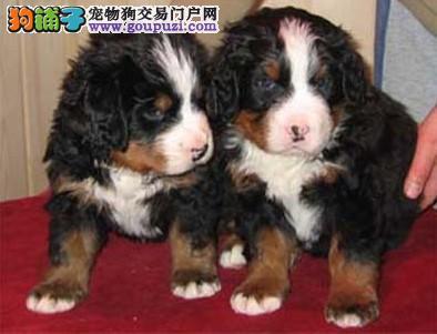 出售纯种伯恩山幼犬血统纯正打好疫苗