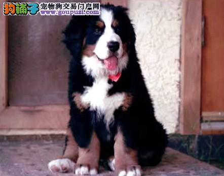 狗场出售纯种伯恩山幼犬 多只挑选 可视频看狗