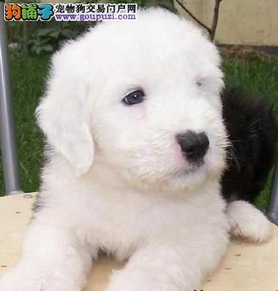郑州自家狗场繁殖直销古代牧羊犬幼犬郑州周边免费送货