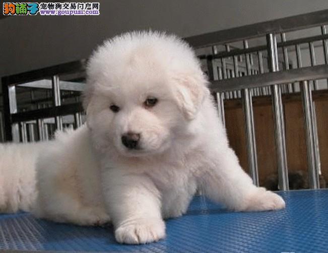 东莞买大白熊最好 纯种大白熊价钱 大白熊幼犬图片