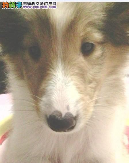 出售家养健康苏牧幼犬