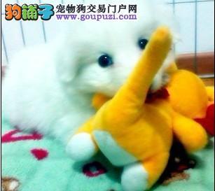 出售自家繁殖的大白熊