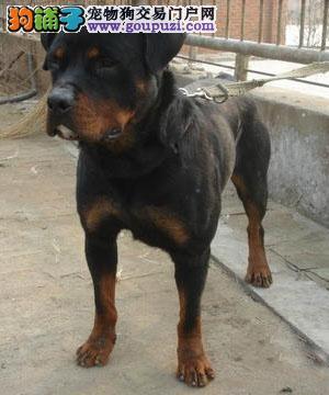 出售纯种健康的成都罗威纳幼犬签订协议终身质保