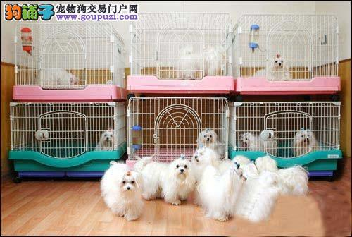 正规犬舍繁殖 纯种马尔济斯犬出售 签协议 赠送用品
