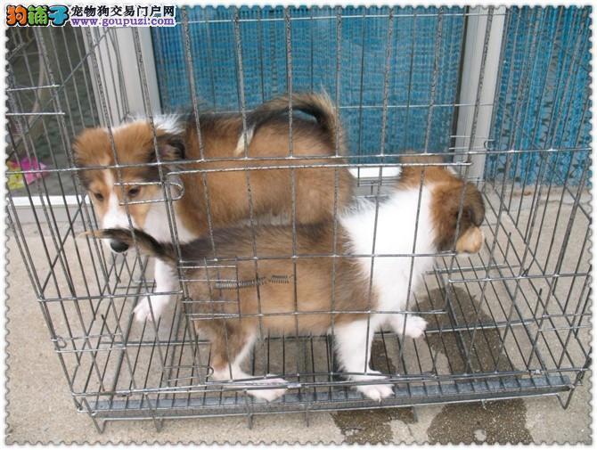出售纯种优质苏牧幼犬 疫苗齐全 可上门看狗