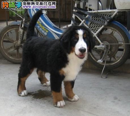 高品质伯恩山犬,2到3个月幼犬