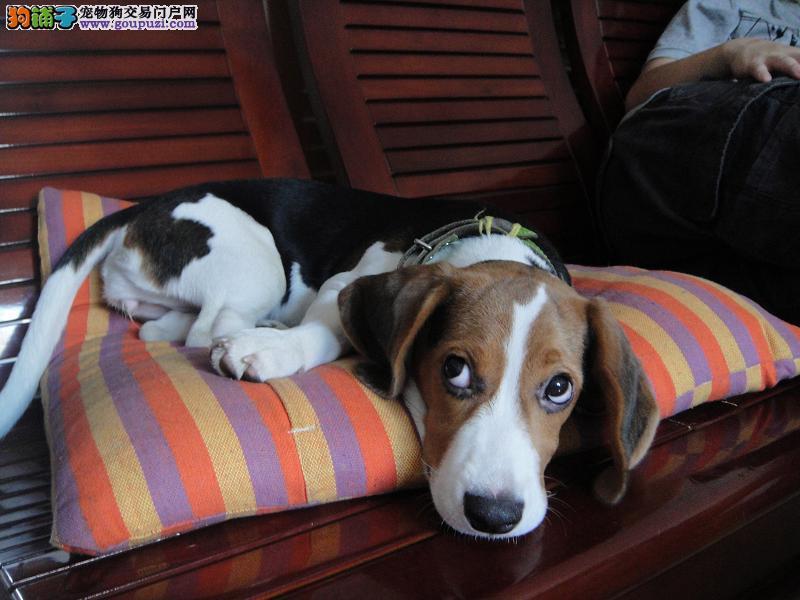 米格鲁小猎犬保障健康猎兔犬赛级血统欢迎上门选