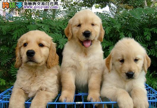 出售纯种赛级金毛犬 幼犬 毛量好 大骨架多只挑选