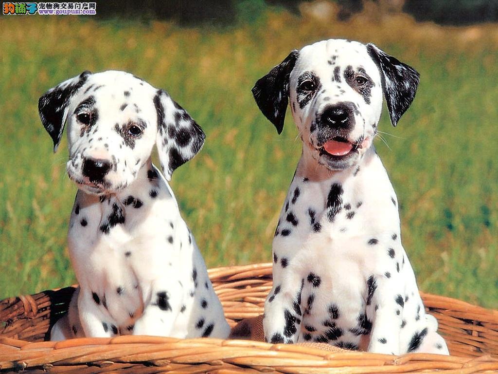 自家狗场繁殖斑点幼犬大麦町犬出售中