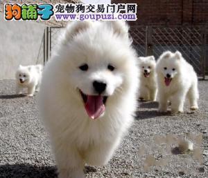 自家狗场繁殖直销萨摩耶幼犬均有三证保障