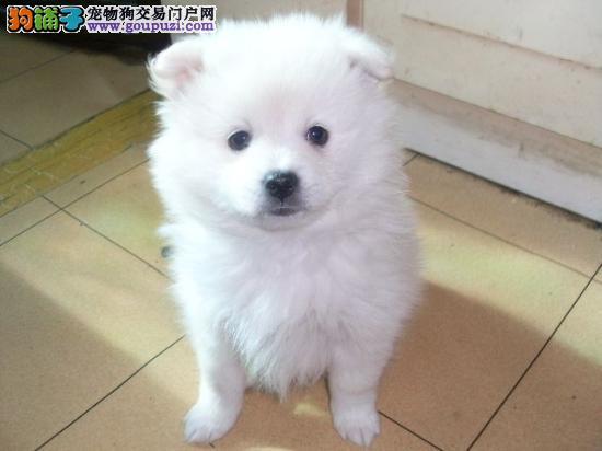 赤峰家养赛级银狐犬宝宝品质纯正以品质惊世人