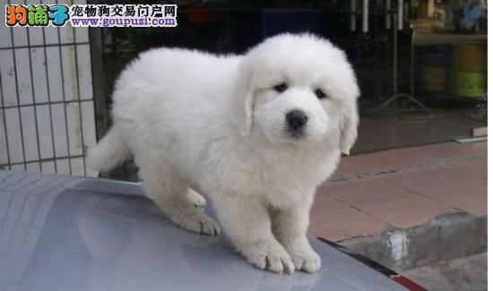 专业基地繁殖狗场直销超可爱保健康大白熊宝宝出售