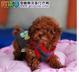 韩国引进的卡哇伊小泰迪宝宝欢迎选购