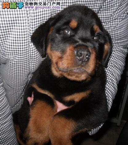 出售罗威纳幼犬品质好有保障保障品质一流专业售后