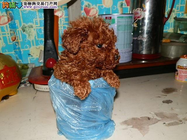纯种韩系茶杯幼犬可爱至极 可签订健康协议