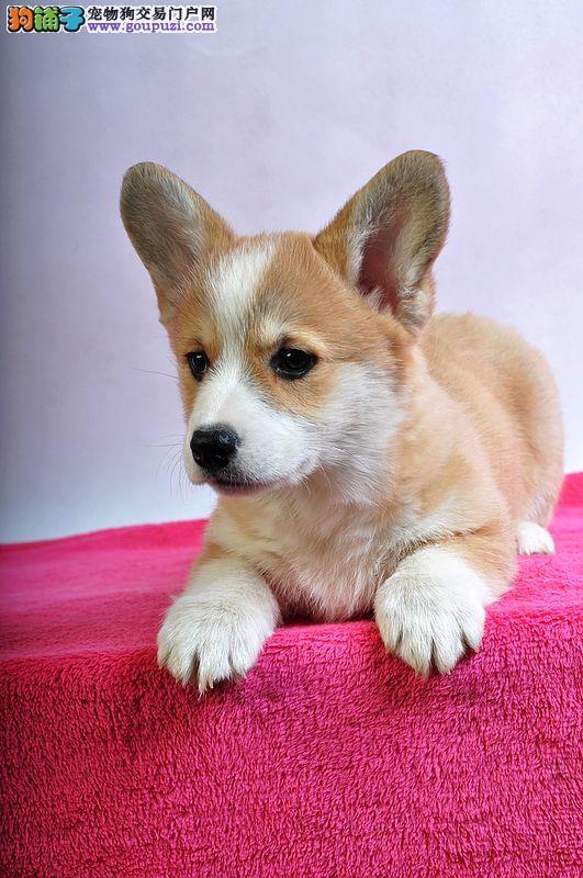赛级血统 国际CKU柯基幼犬 购买签订协议