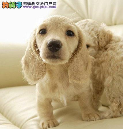 杭州可卡 纯种可卡犬甜蜜温和布满长而丰厚波浪状饰毛