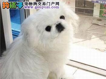 出售纯种可爱的黑色。白色京巴幼犬健康保证品质一流