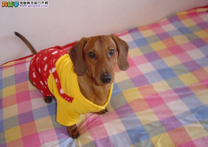 西城正规狗场犬舍直销腊肠犬幼犬赠送全套宠物用品