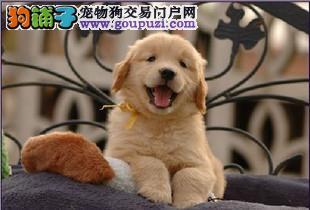 伴侣犬的最佳选择金毛犬济南纯种三年协议 售后无忧