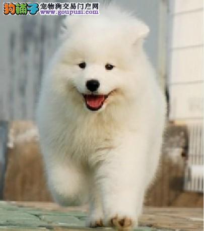 澳版萨摩耶幼犬长春低价出售 雪白毛色无水锈无泪痕