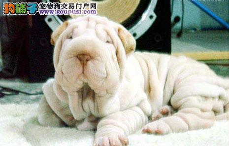 CKU犬舍认证出售纯种沙皮狗保终身送用品