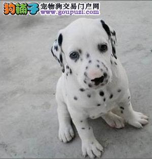 出售血统纯正大麦町斑点狗幼犬 喜欢的欢迎选购