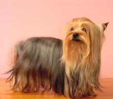 极品纯正的南京约克夏幼犬热销中下单有礼全国包邮
