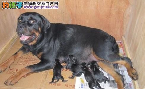 真正的大宽头罗威纳犬 最忠实的伴侣.是您不二选择